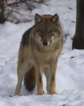 http://dikiymir.ru волк -хищник