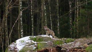 http://dikiymir.ru волк охотник дикого мира